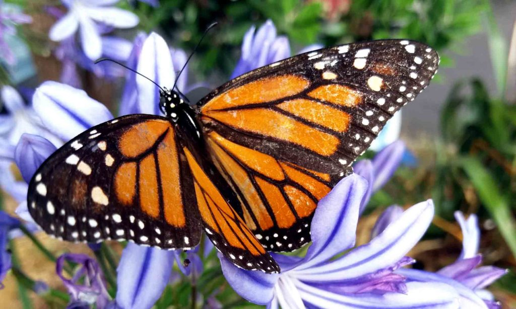 Monarch Butterfly on lilac colored allium blossom