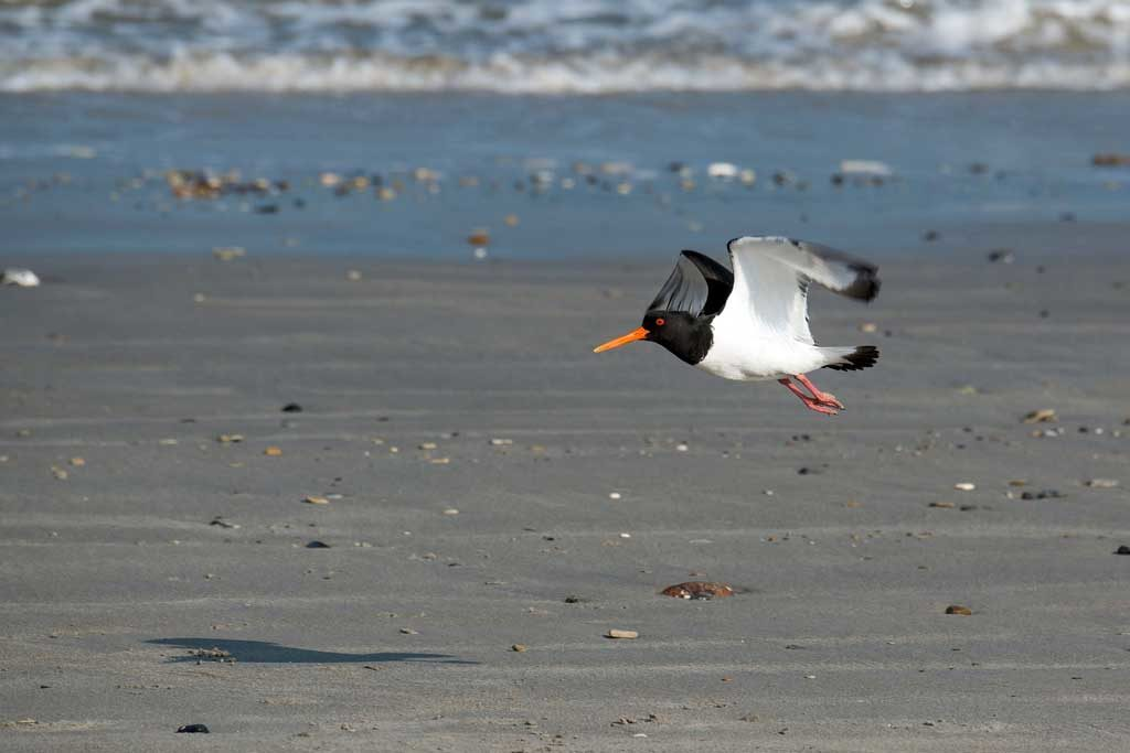 Oyster-catcher flying